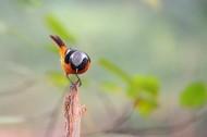 北红尾鸲鸟类图片(6张)