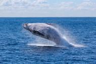 浮出水面的鲸鱼图片(13张)