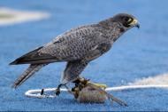 难以驯服的猎鹰图片(10张)
