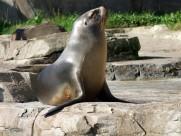 呆萌的海狮图片(15张)
