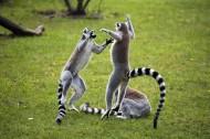 环尾狐猴图片(16张)