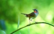 红喉歌鸲鸟类图片(5张)