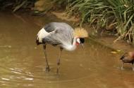 灰色丹顶鹤图片(10张)