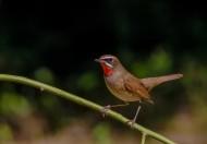 红点颏鸟类图片(6张)