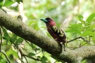 喙色特别的斑阔嘴鸟图片(13张)