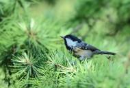 煤山雀鸟类图片(5张)