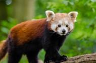 野生的小熊猫图片(12张)