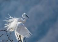 白鹭图片(13张)