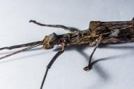 修长的竹节虫图片(15张)