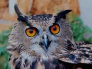 呆萌的猫头鹰图片(10张)