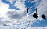 气质丹顶鹤图片(31张)