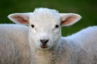 呆萌的绵羊图片(10张)