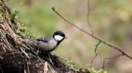 大山雀鸟类图片(10张)