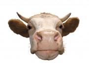 牛的头部特写图片(15张)