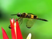 各色各样的蜻蜓图片(10张)