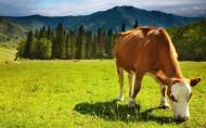 可爱的牛图片(21张)