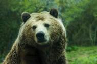 庞大的棕熊图片(12张)