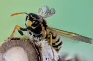 毒性强大的黄蜂图片(15张)
