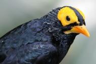 黄脸树八哥鸟类图片(7张)