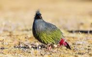 血雉鸟类图片(14张)