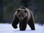 威猛的棕熊图片(18张)