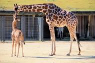 长颈鹿图片(26张)