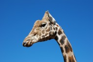 可爱长颈鹿头部特写图片(11张)