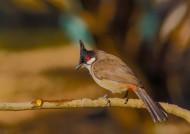 红耳鹎鸟类图片(11张)