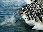 南极企鹅图片(29张)