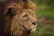狮子图片(7张)