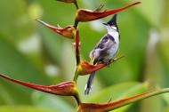 红耳鹎鸟图片(7张)