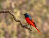 红山椒鸟图片(8张)