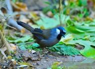 黑喉噪鹛鸟类图片(6张)