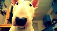 牛头梗图片(11张)