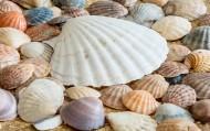 漂亮的贝壳图片(15张)