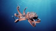 章鱼特写图片(5张)