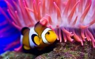 海洋海葵鱼的图片(11张)