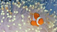 美美的小丑鱼图片(12张)