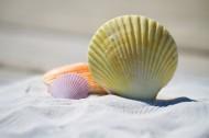 精致漂亮的贝壳图片(12张)