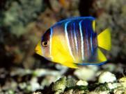 热带鱼图片(11张)