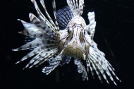 美味的狮子鱼图片(15张)