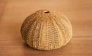 阳光下的海胆壳图片(14张)