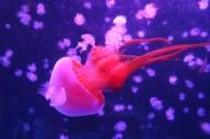 海洋中的水母图片(30张)