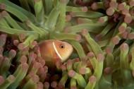 小丑鱼和海葵图片(10张)