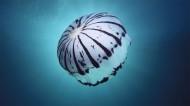 漂亮的水生动物水母图片(15张)
