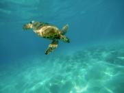 海洋里的海龟图片(11张)