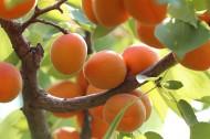 树上成熟的杏子图片(17张)