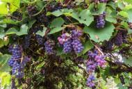 葡萄藤上的葡萄图片(14张)
