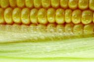玉米图片(12张)