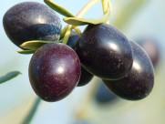 成熟橄榄果图片(16张)